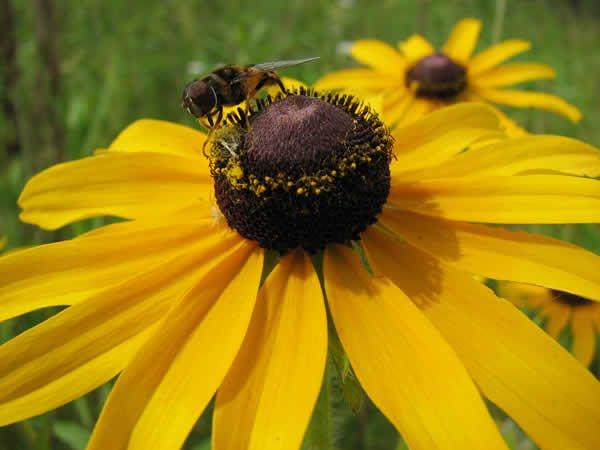 Black eyed susan rudbeckia hirta melhor com florais Black eyed susans